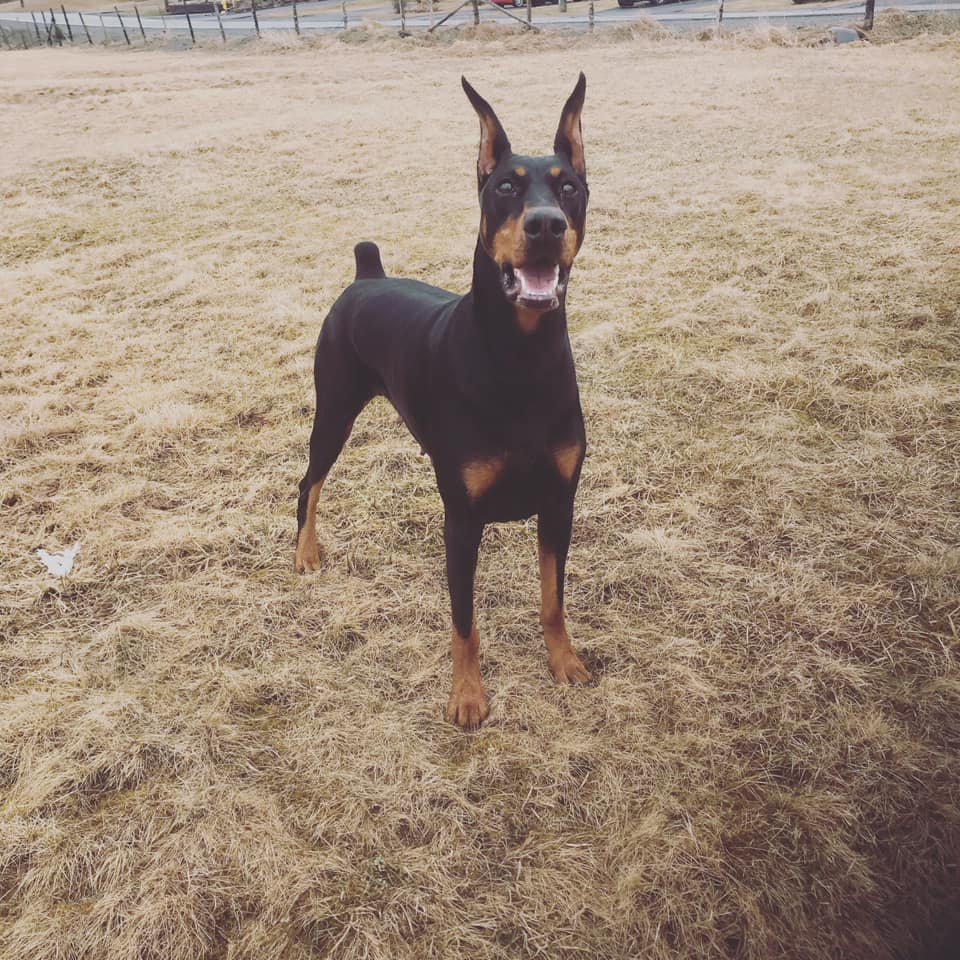 Ellie – Gatehouse Dobermans